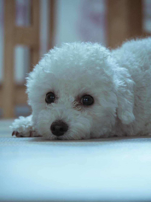 white dog lying on floor