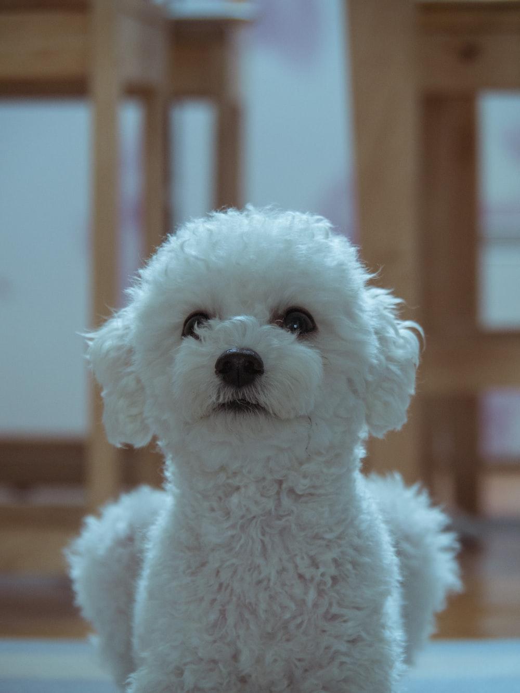 long-coated white dog