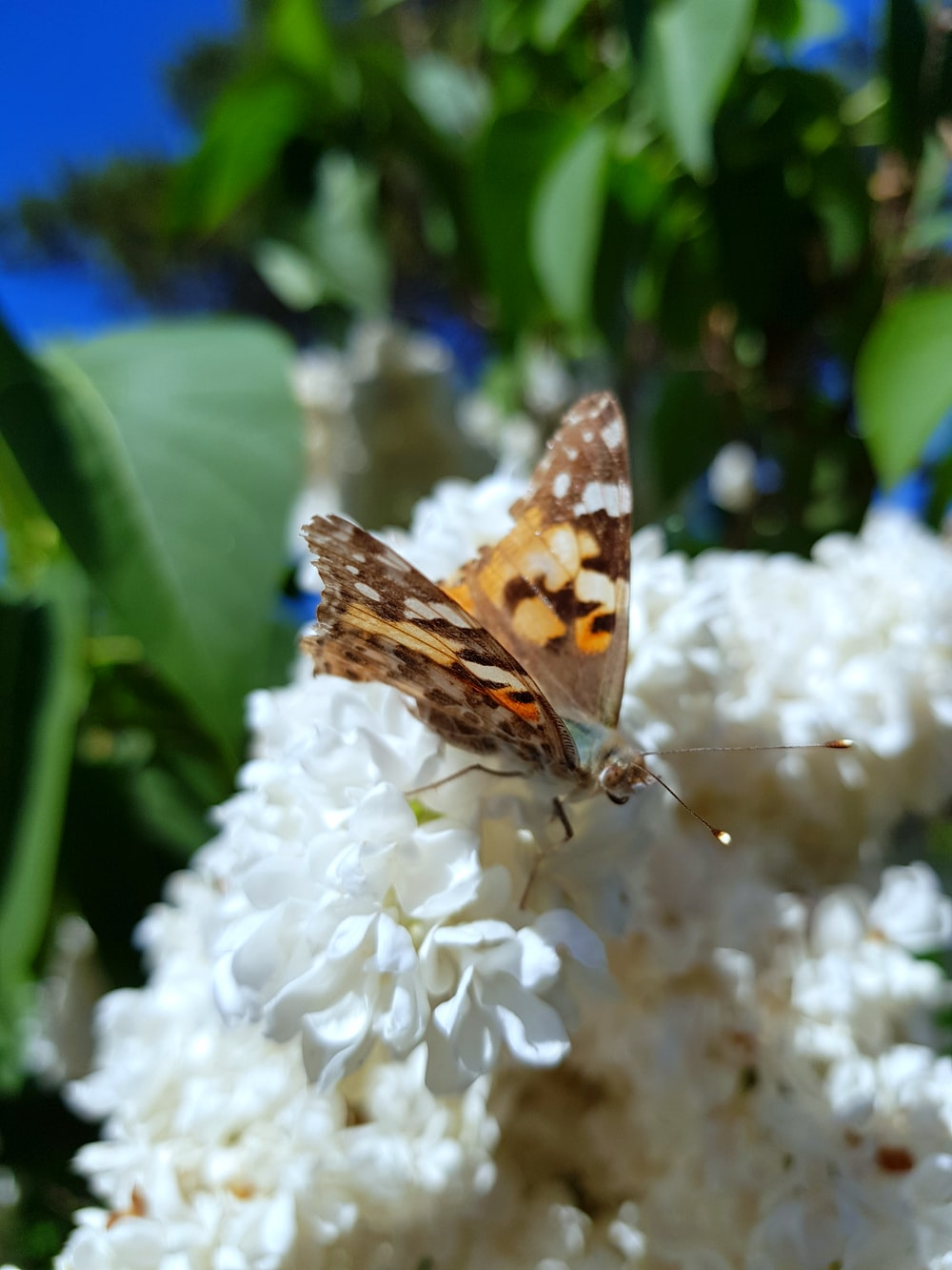 brown moth fetched on white flowers