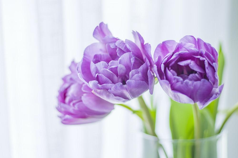 blooming purple tulip flowers