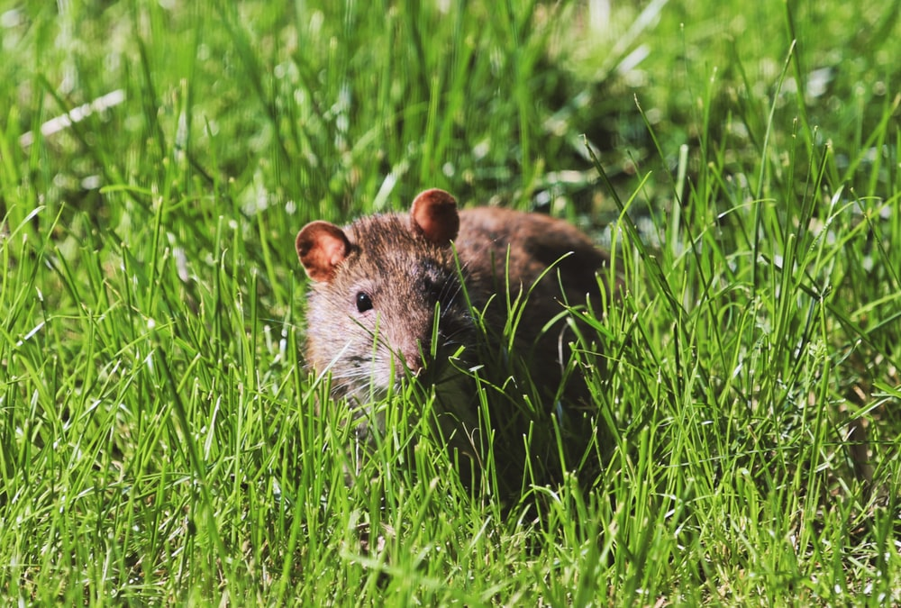 black rat on grass