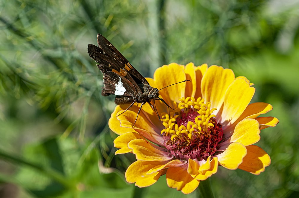macro photo of butterfly on cosmos flower