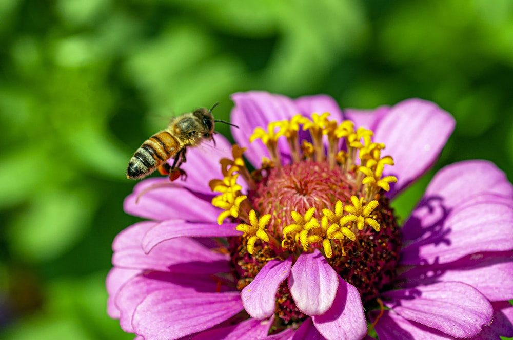bee near pink flowers