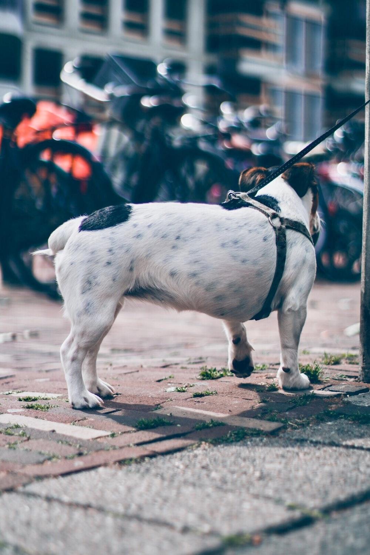 adult white bull dog