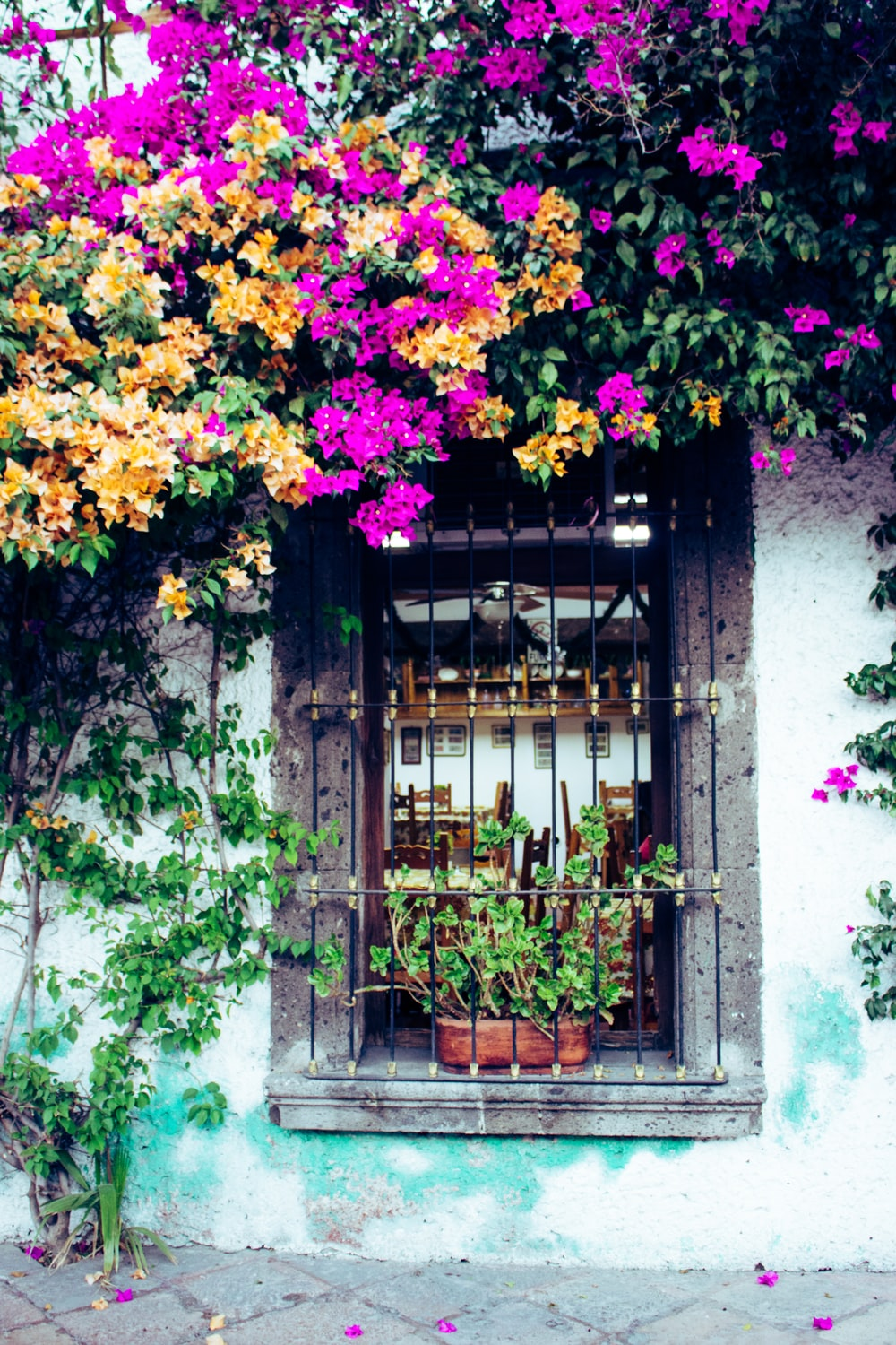 purple and yellow bougainvillea flowers near window