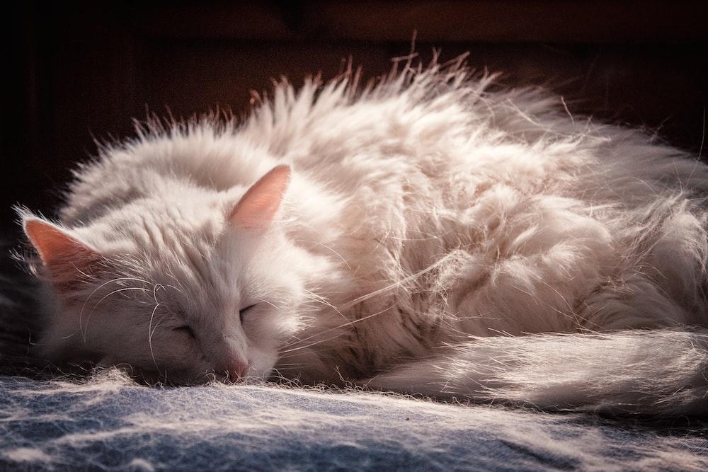 adult white cat