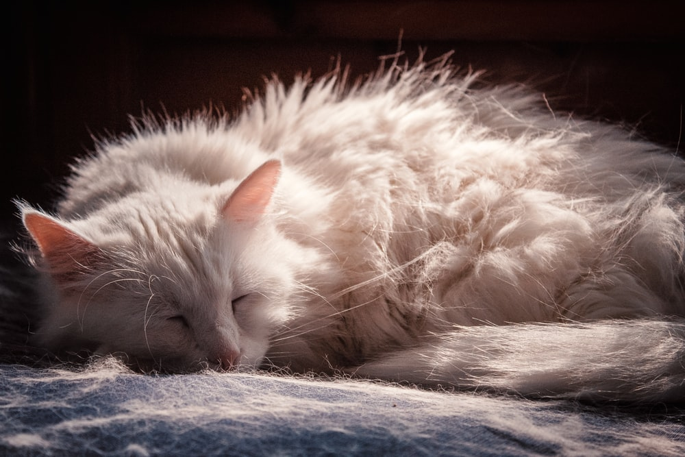 adult white cat