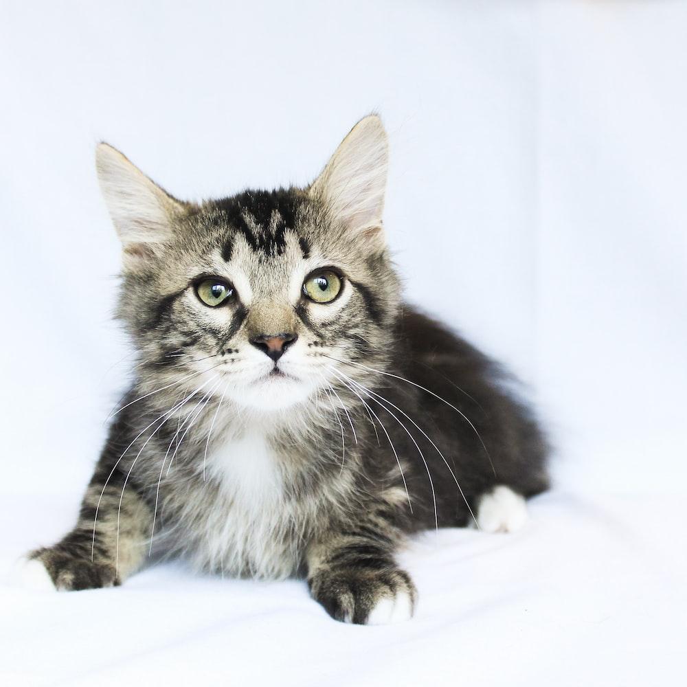short-furred gray kitten