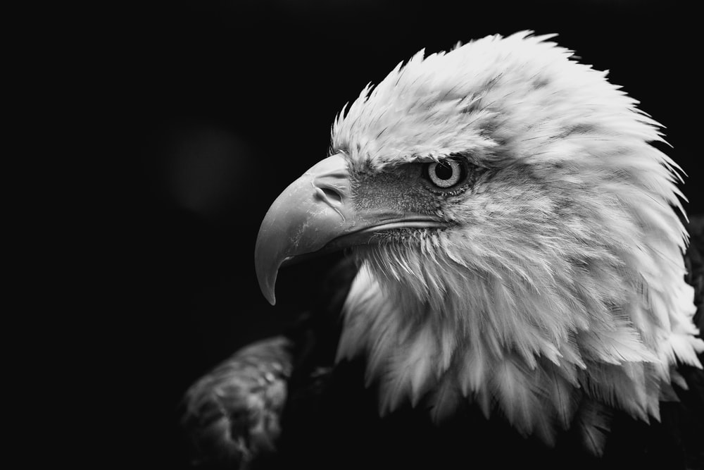grayscale photo of eagle
