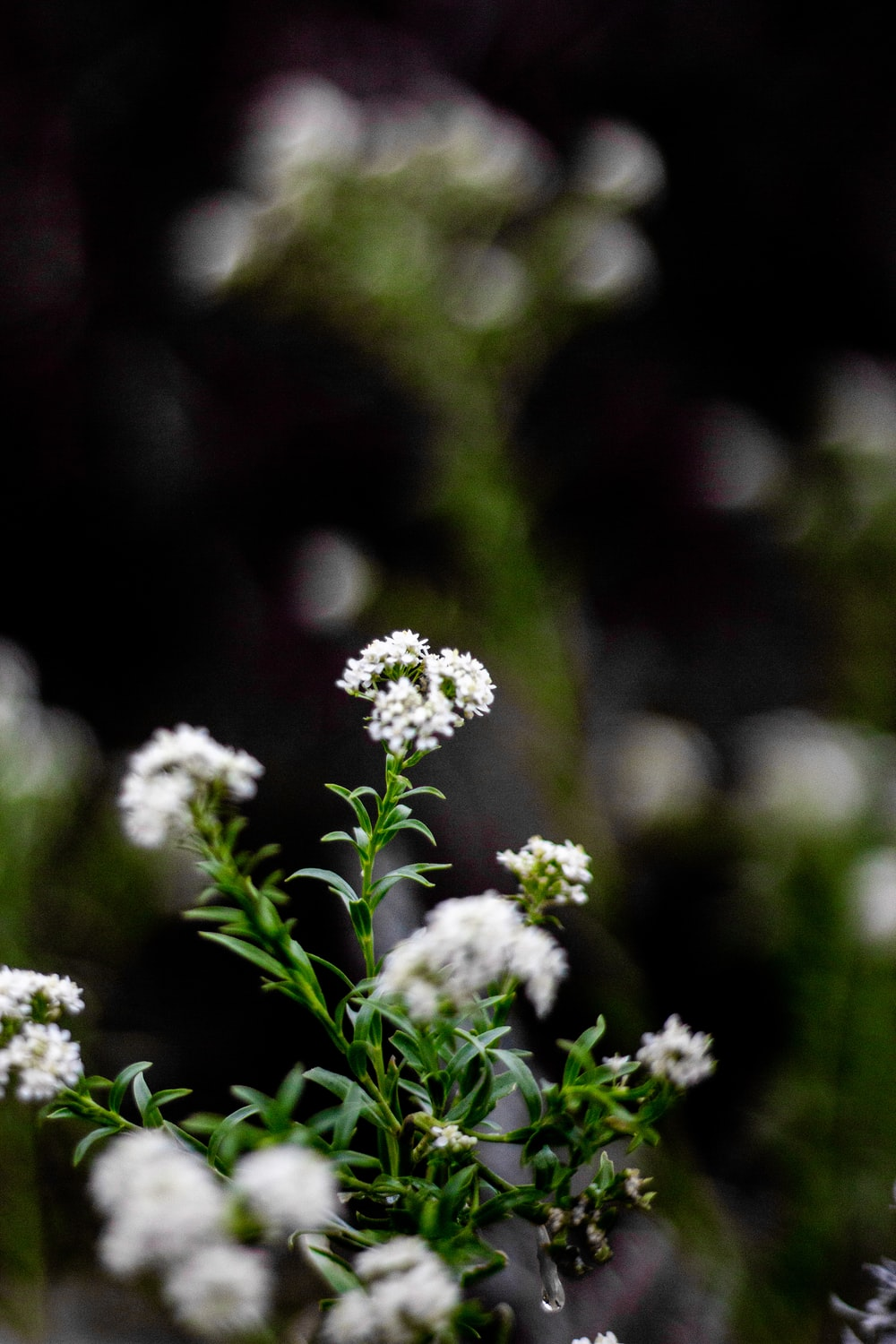 selective focus photography of white clustered flowers
