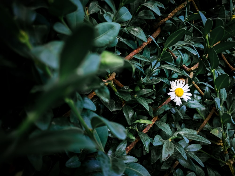 selective focus photography of white daisy flower during daytime