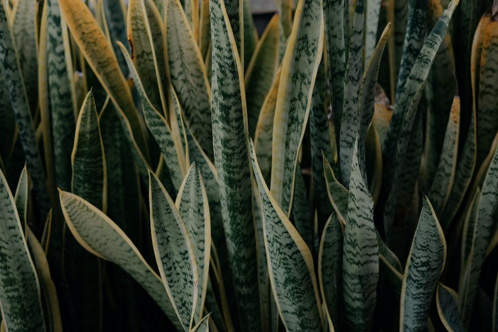 green snake plant