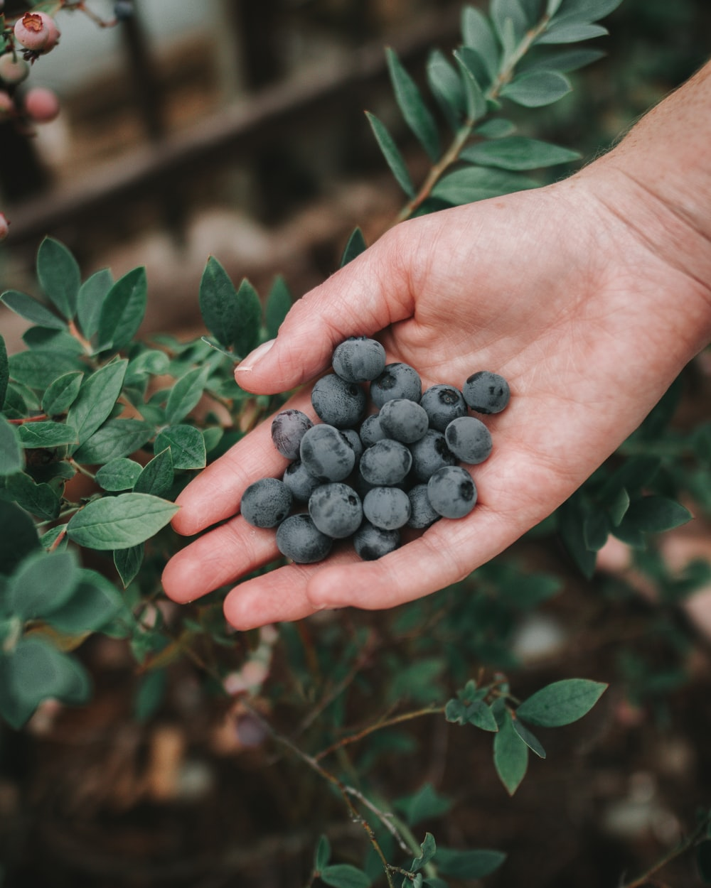 person holding handful of blueberries
