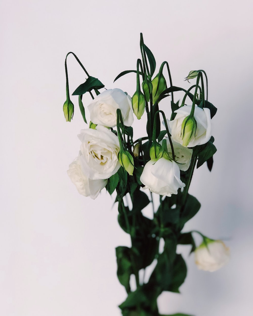 white rose flowers close-up photography