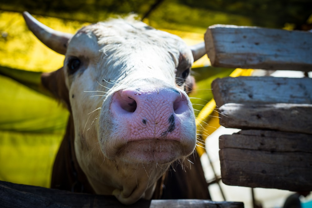 white cow in close-up photography
