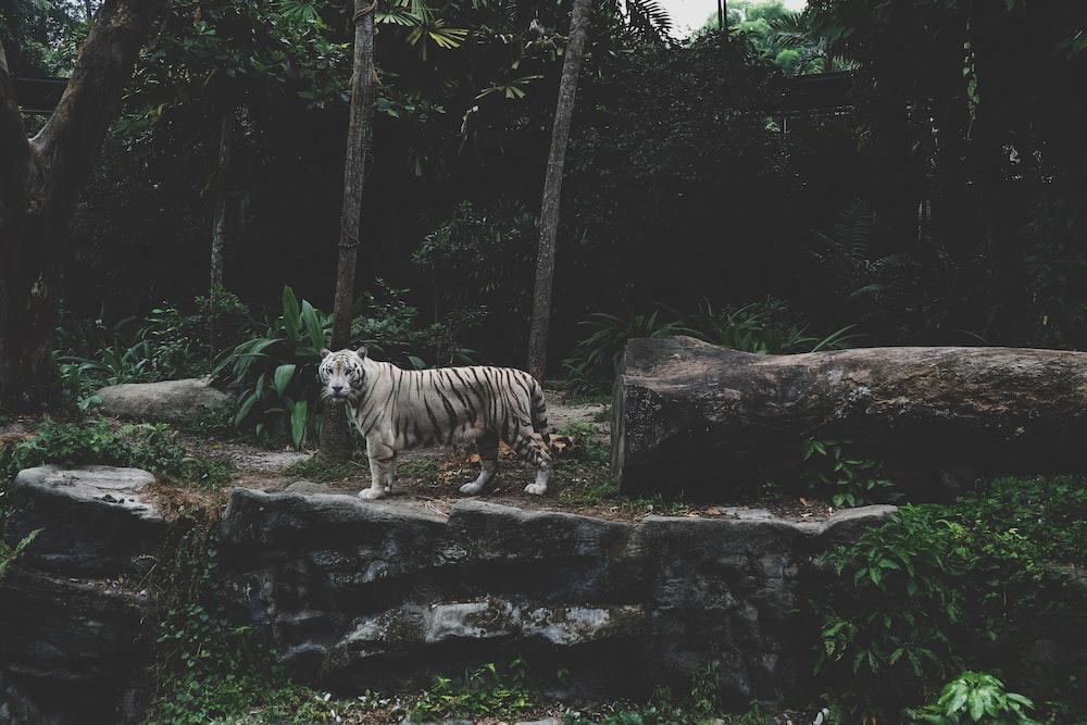 tiger near tree trunk