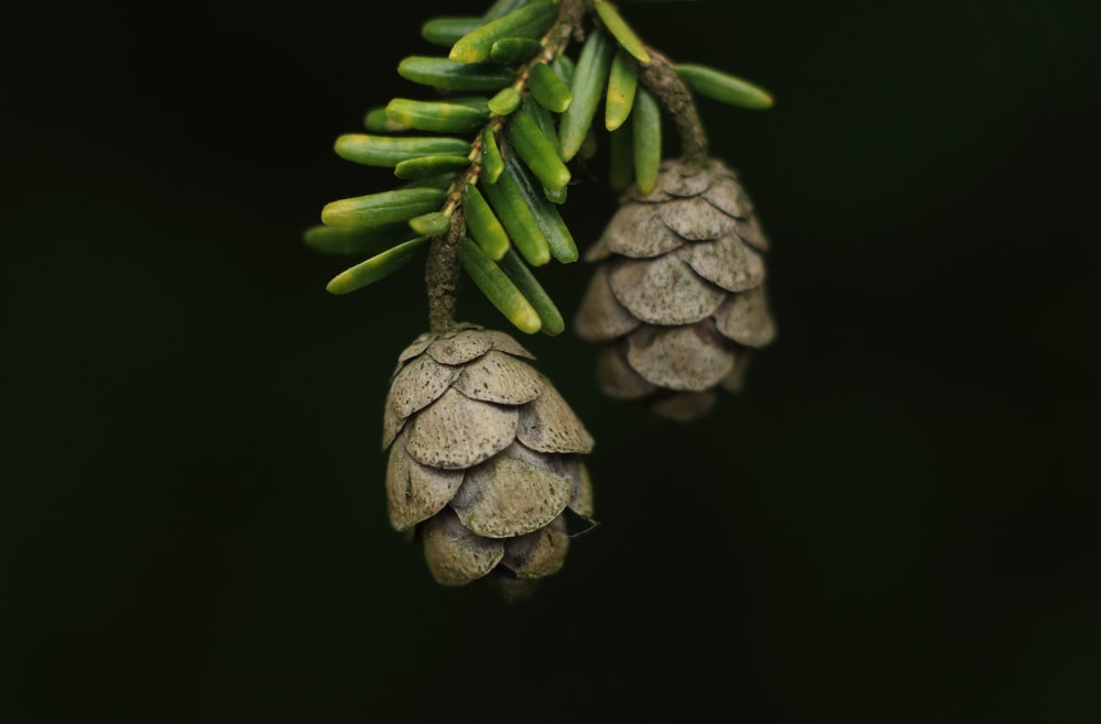 two brown pine cones