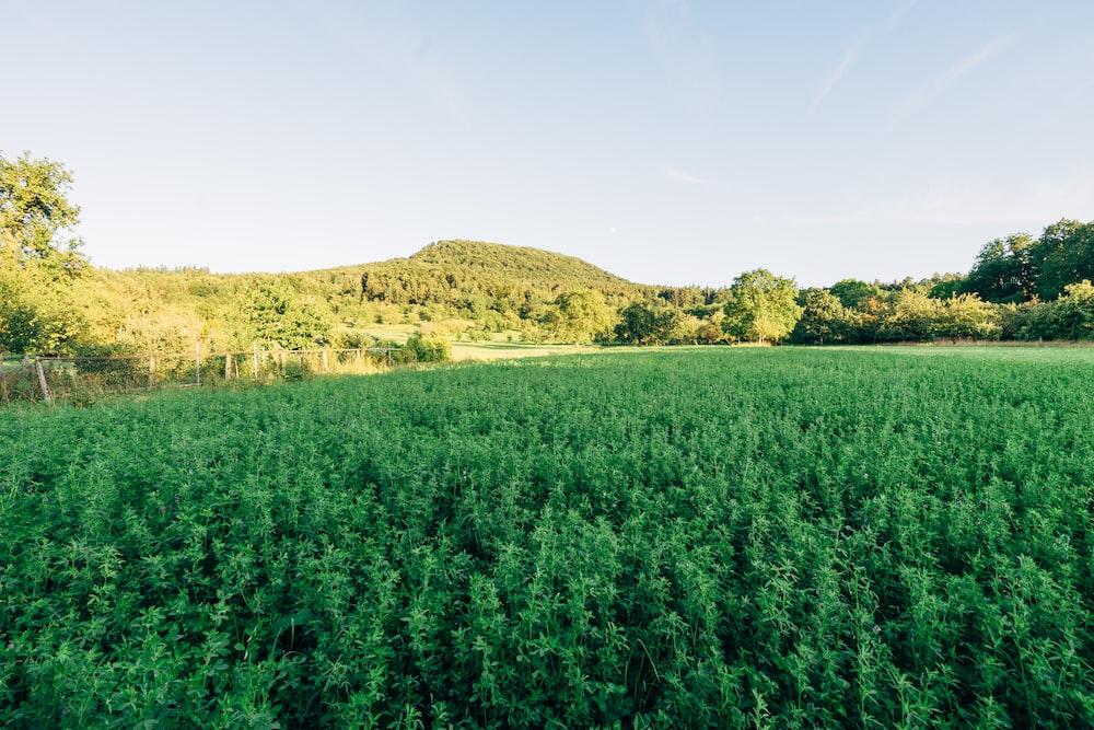 field of green plants