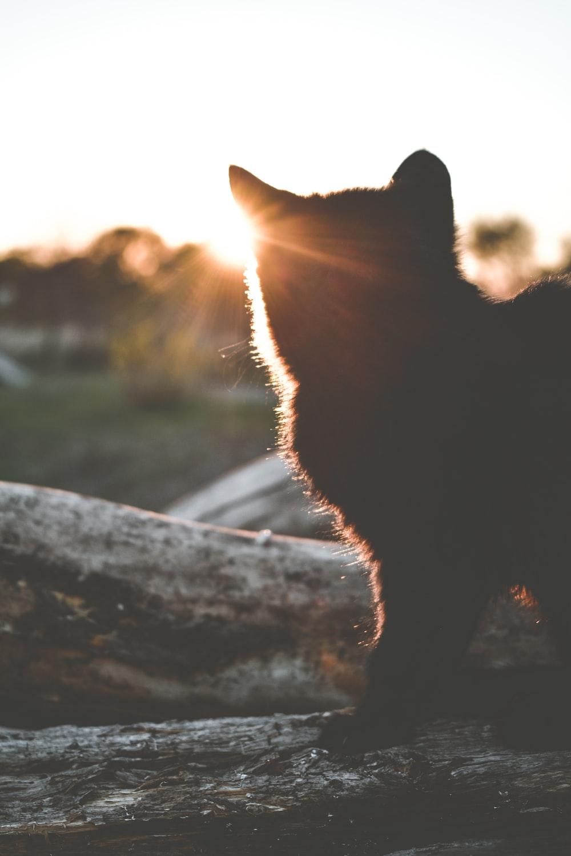 short-furred black cat