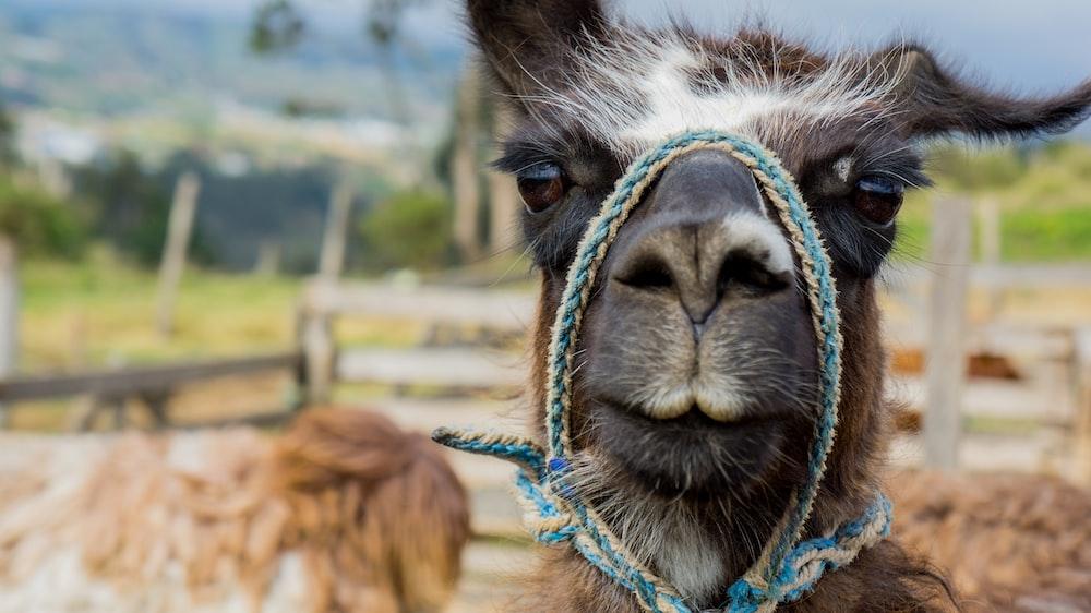 brown llama standing near fence