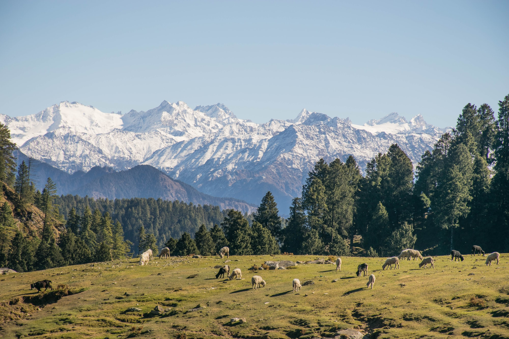 sheep grazing, with mighty himalayas as backdrop