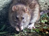 A Rat for The Brat vacation stories