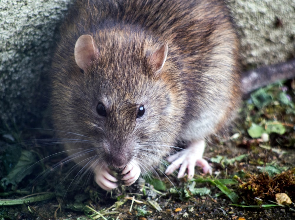 brown mouse on green grass