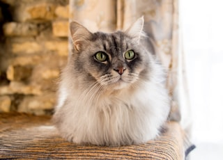 long-coated tan and gray cat