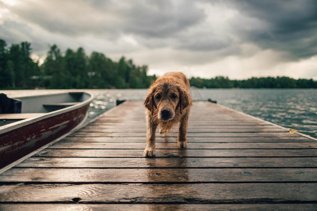 Kaz the golden retriever enjoying an overcast day at Danford Lake, Quebec, Canada.