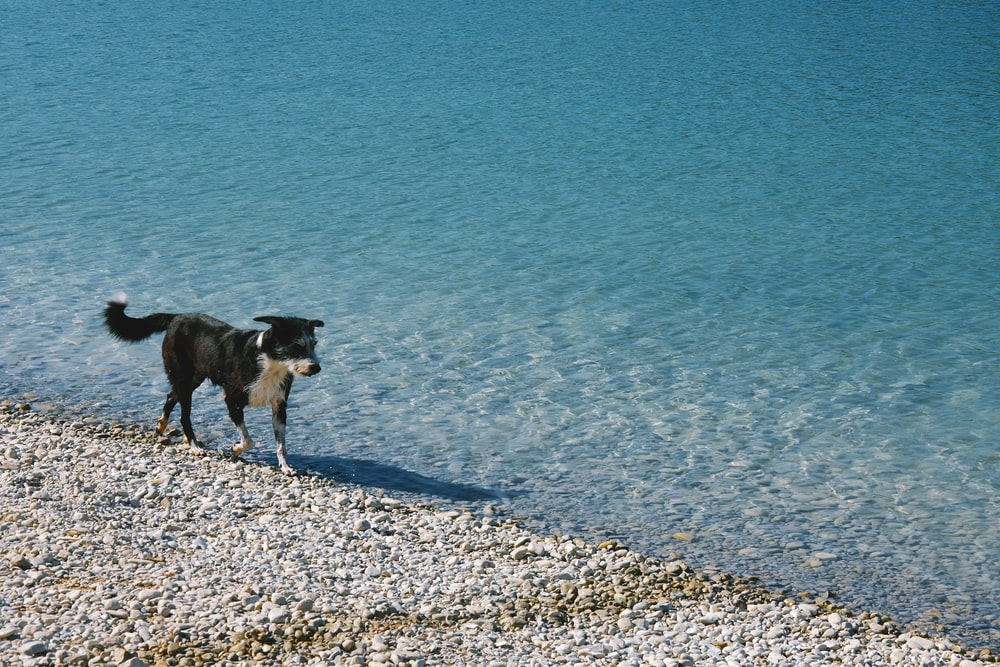 short-coated black and white dog walking near body of water