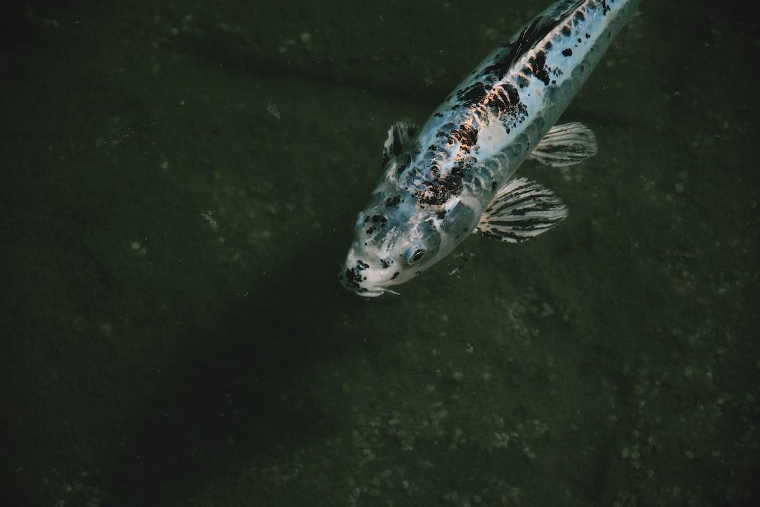 Budidaya Ikan Koi Dengan Mudah dan Benar