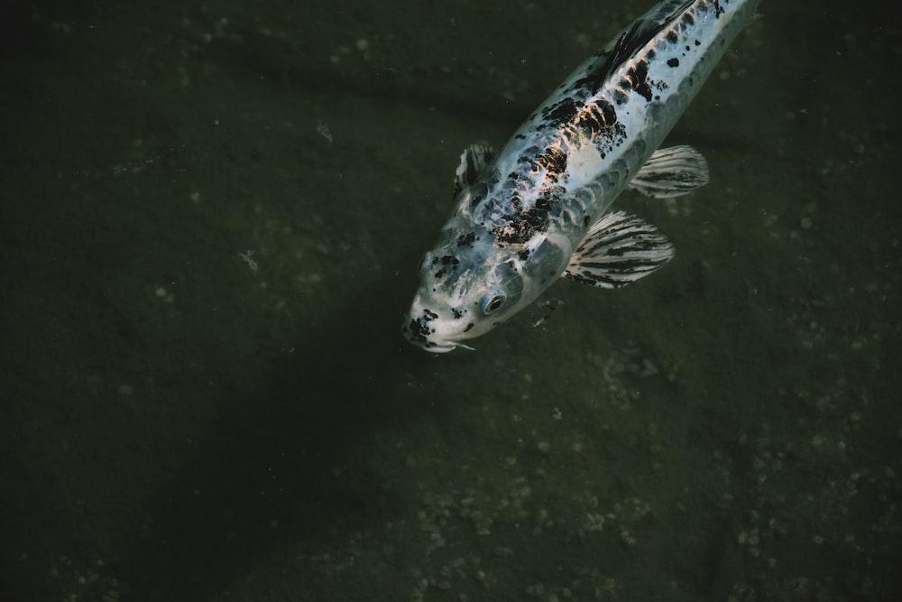 gray and black fish