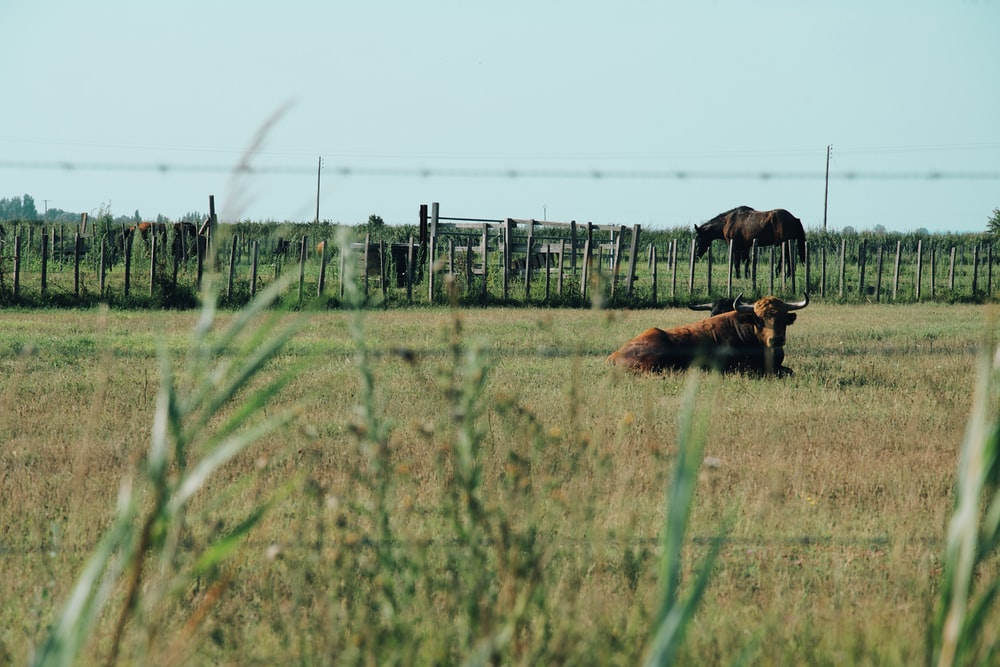 brown cow lying on grass
