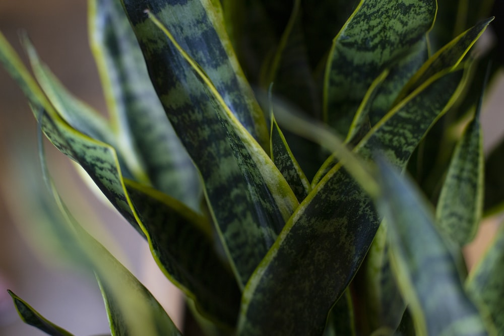 green and yellow snake plant