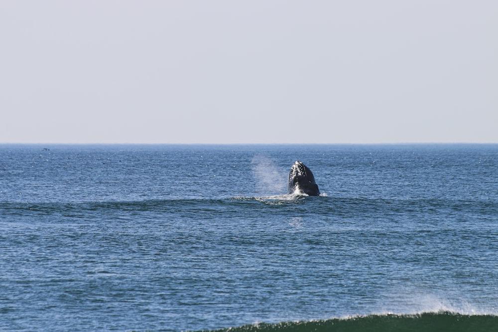 black whale on blue sea