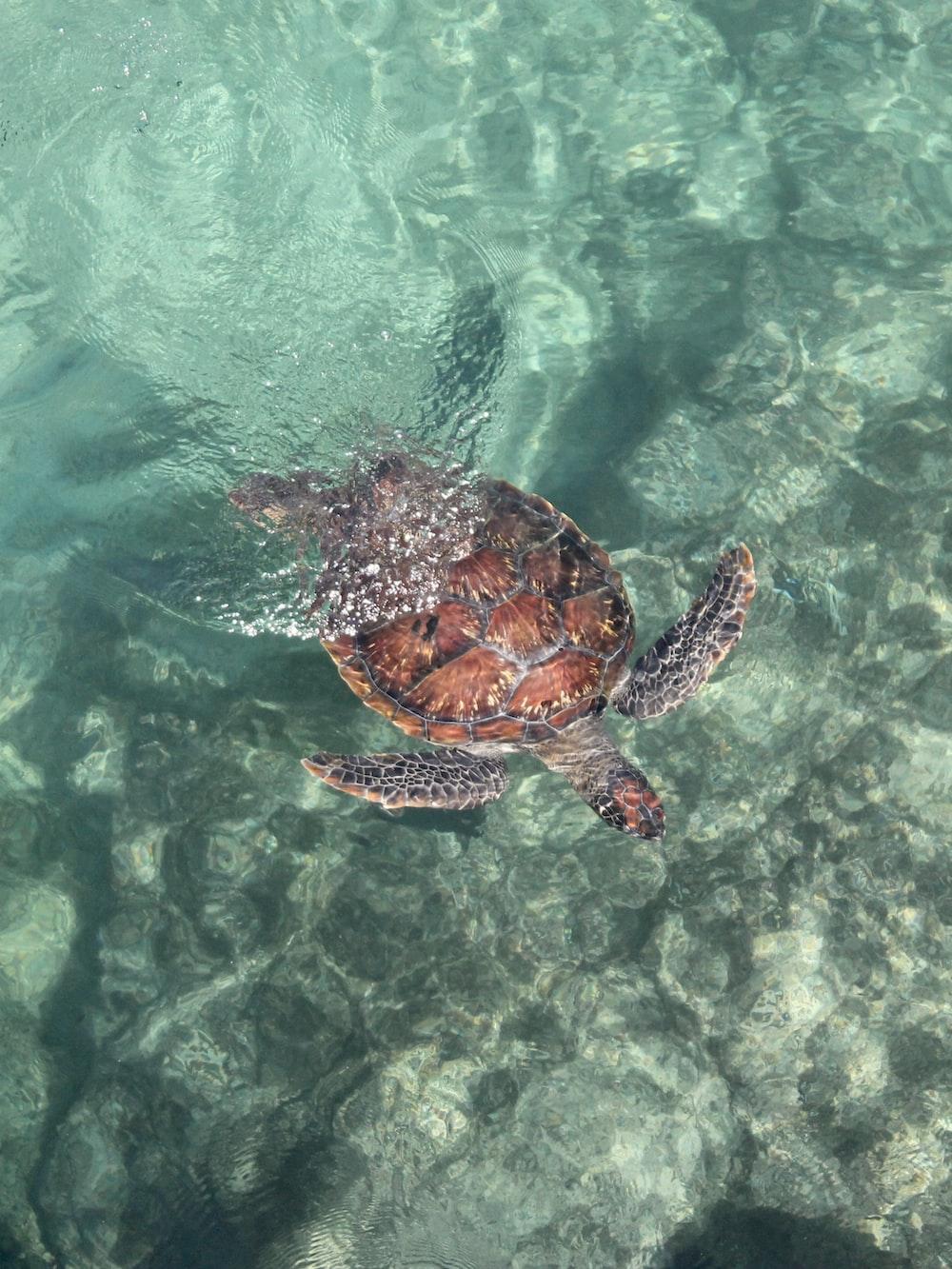 brown turtle in water