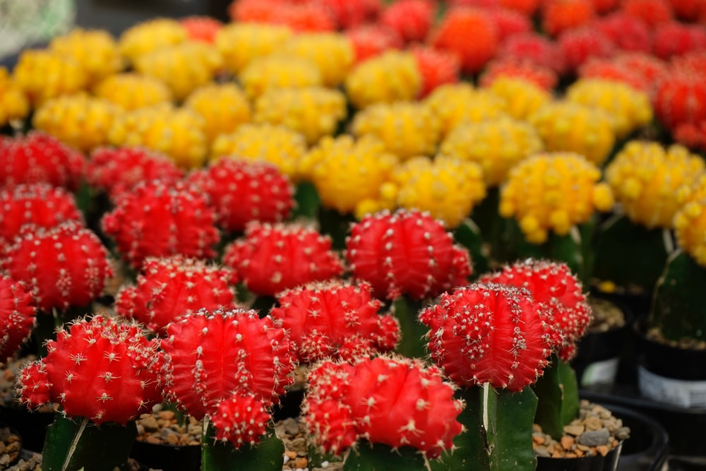 selective focus photography of yellow and red moon cacti