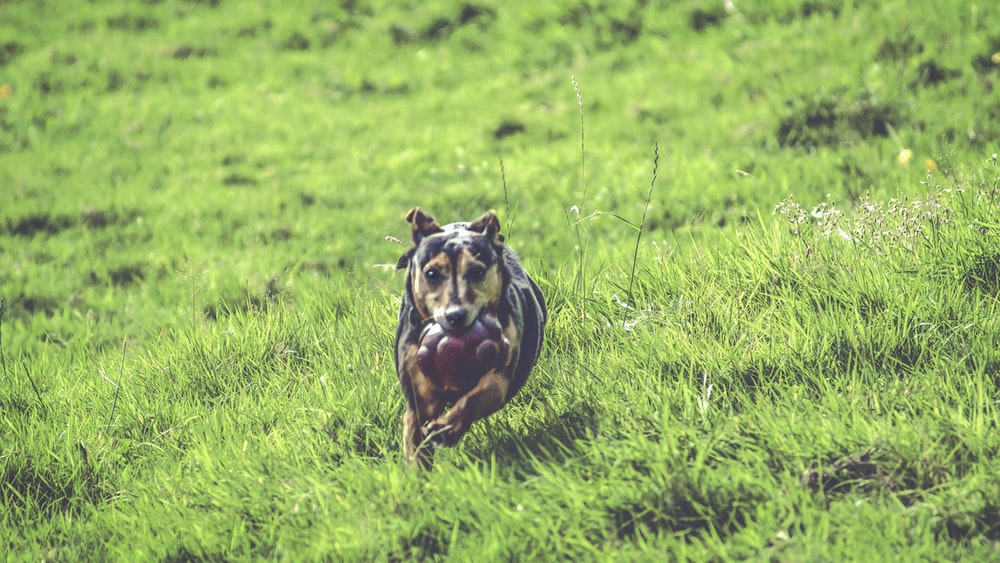 short-coated brown and black dog running in green field