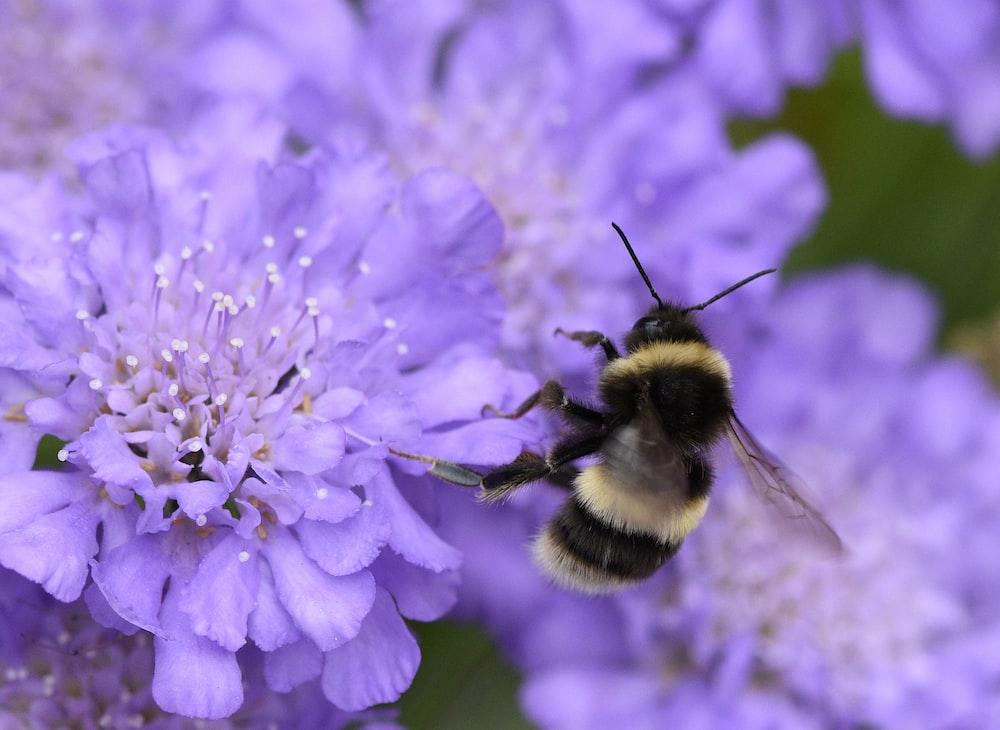 black and brown bee on top of purple flower