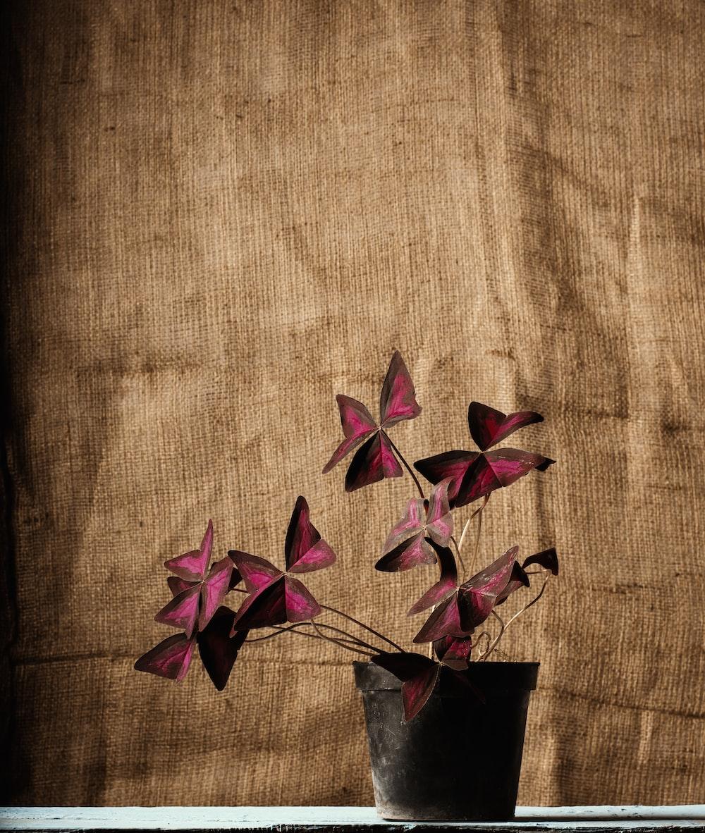 maroon shamrock flowers in black pot