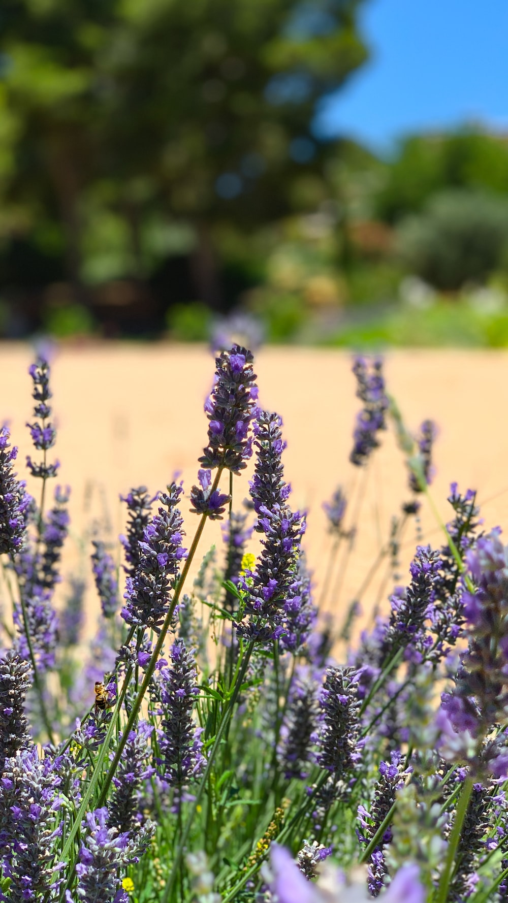 selective focus photography of lavender flowers