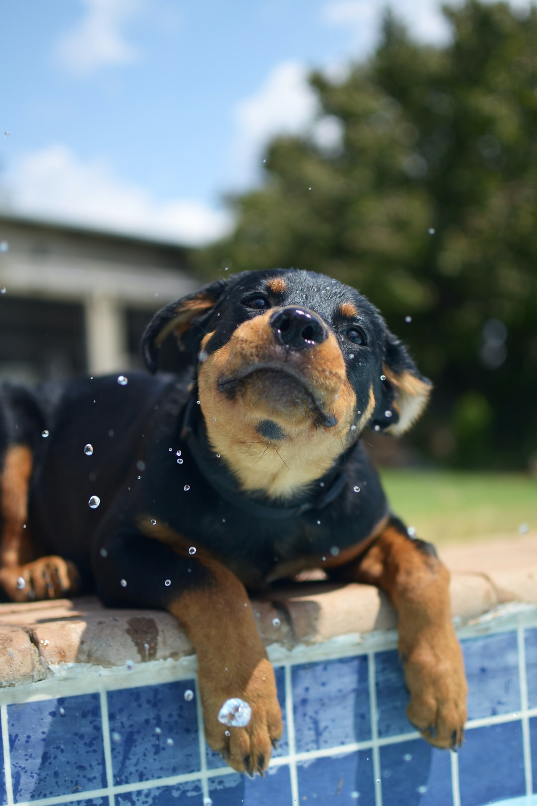 How to Pick a Rottweiler Puppy Professionally?