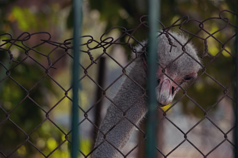 gray ostrich behind fence