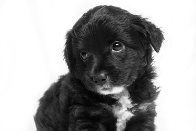 short-coated black puppy puppy zoom background