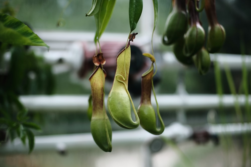 green fruits hanging front plant