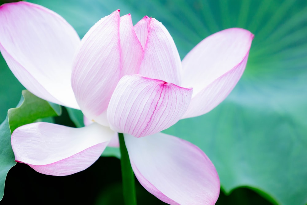 pink-and-white-petaled flower