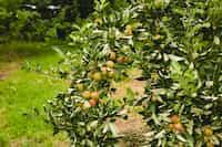 Mango Tree mango stories