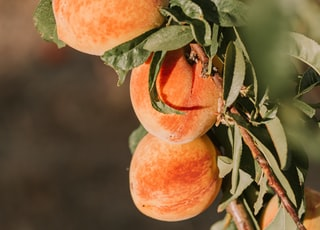 orange peach fruits