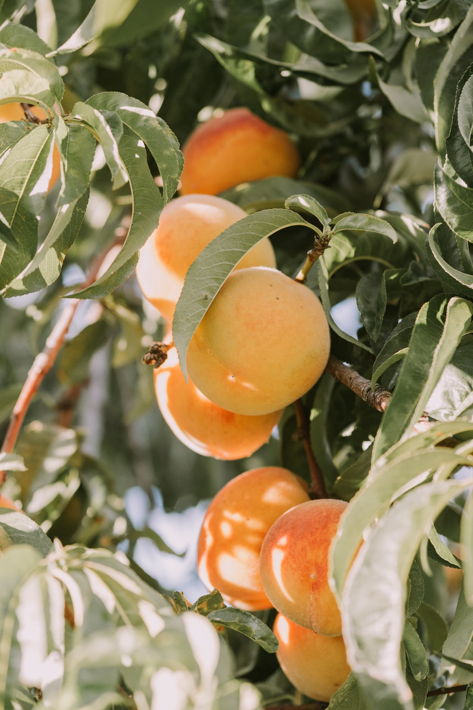 red-and-orange peach