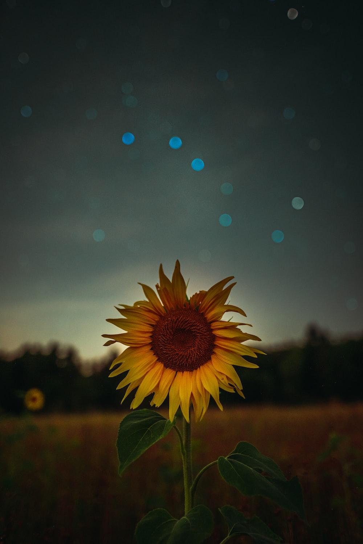 sunflower during golden hour